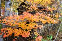 Old Tobbacco Barn, now surrounded by woodland\'s fall colors